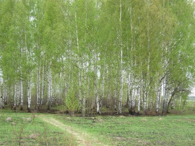 Betula_Forest